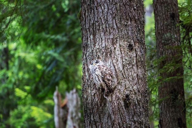 Dzika sowa na drzewie w lesie latem, oregon, usa