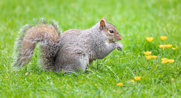 Dzika szara wiewiórka je orzeszki ziemne na zielonej trawie w ogrodzie