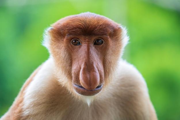Dzika trąbiasta małpa lub nasalis larvatus w tropikalnym lesie deszczowym borneo, malezja