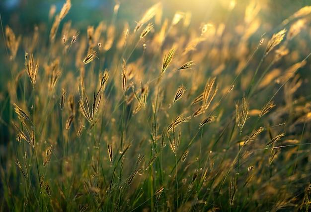 Dzika trawa kwitnie w zmierzchu czasie