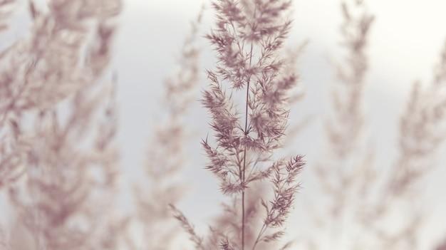 Dzika trawa pampasowa w naturalnym środowisku na tle kwiatów, beżowych odcieniach, nieostrości