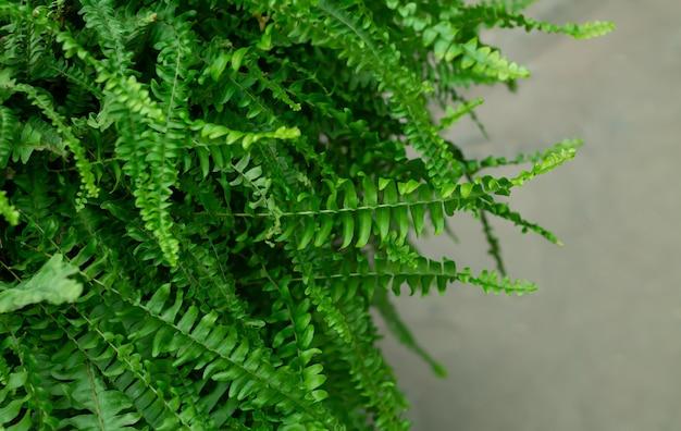 Dzika tropikalna paproć z zielonymi liśćmi zbliżenie