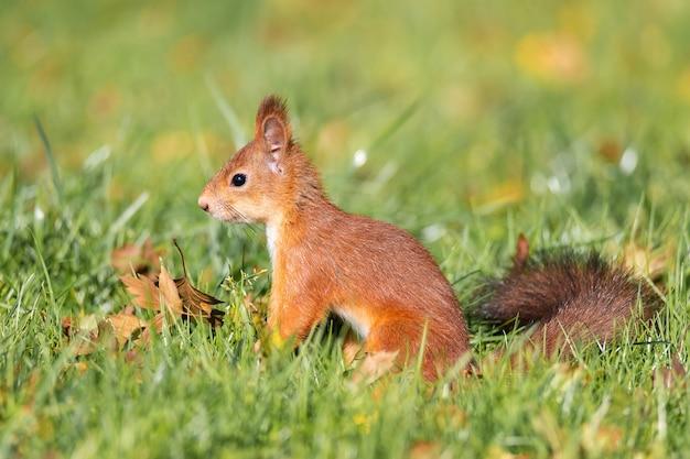Dzika wiewiórka jedzenie w parku zielonej trawie