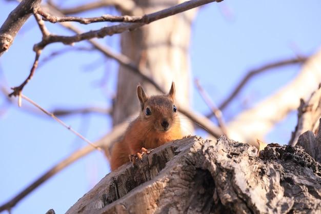 Dzika wiewiórka na gałęzi drzewa