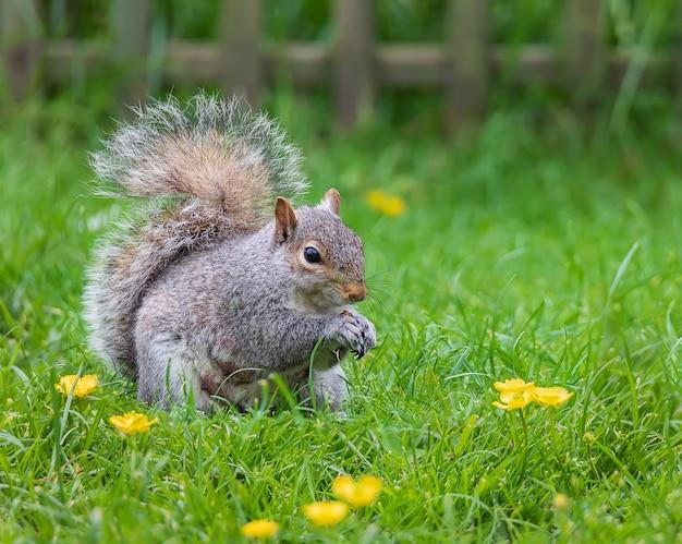 Dzika wiewiórka szara jedząca orzeszki ziemne na trawie w ogrodzie