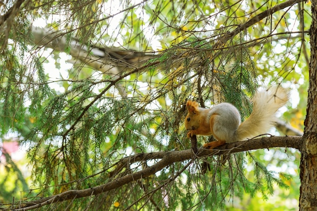 Dzika wiewiórka w naturalnym środowisku. czerwona wiewiórka siedzi na gałęzi drzewa w lesie i gryzie stożek. leśne zwierzę