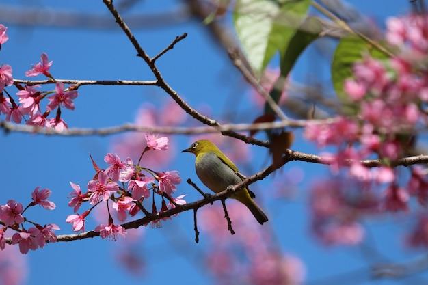 Dzika wiśnia himalajska i mały ptak