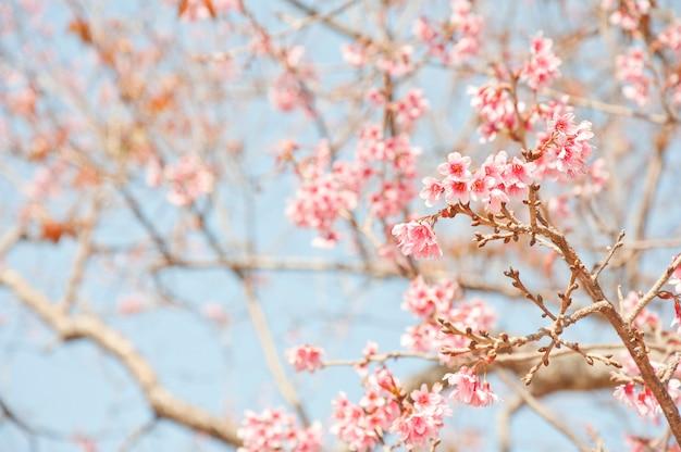 Dzika wiśnia himalajska kwitnie w północnej tajlandii. królowa tygrysów lub nang phaya sua kroang to kwiat na górze doi suthep w chiang mai w tajlandii.