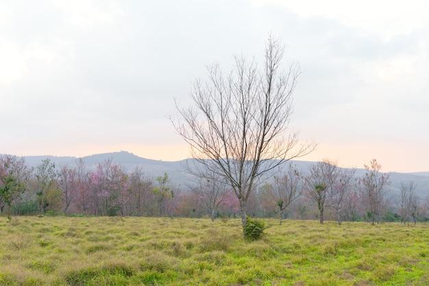 Dzika wiśnia himalajska w północnej tajlandii phu lom lo
