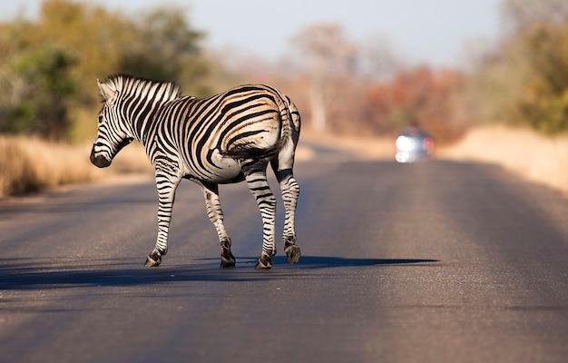 Dzika zebra na drodze