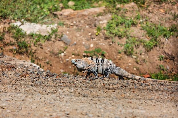 Dzika zielona iguana w kostaryce