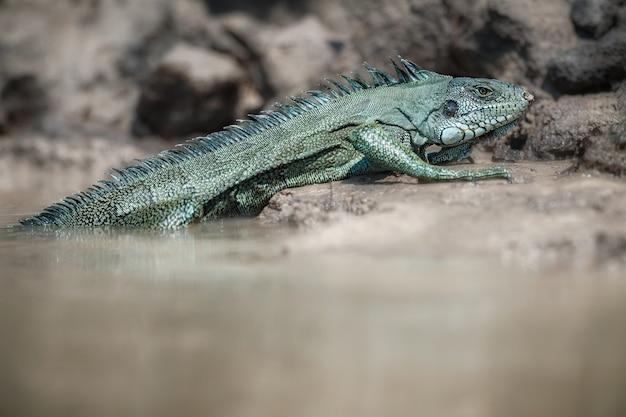 Dzika zielona iguana z bliska w naturalnym środowisku