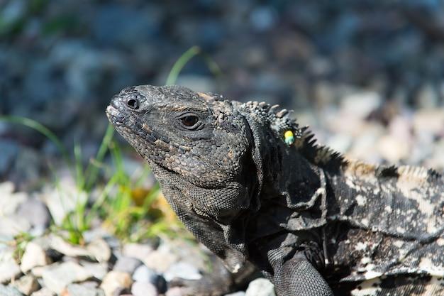 Dzika zielona jaszczurka lub iguana brodaty smok gad zwierzę słoneczne lato na zewnątrz siedzi w pobliżu trawy na naturalnym tle