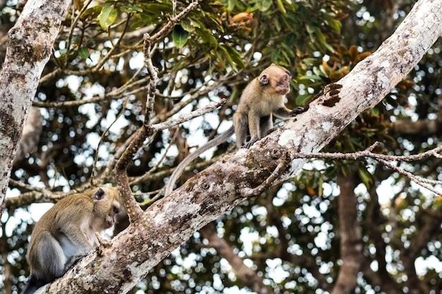 Dzika żywa małpa siedzi na drzewie na wyspie mauritius.małpy w dżungli na wyspie mauritius