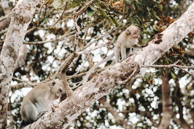 Dzika żywa małpa siedzi na drzewie na wyspie mauritius.monkeys w dżungli na wyspie mauritius.