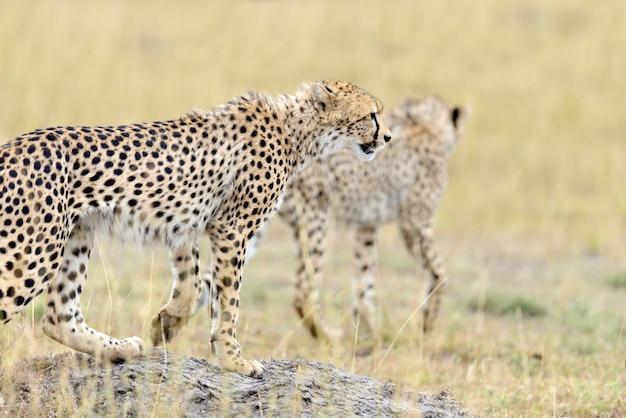 Dziki afrykański gepard, piękny ssak zwierzęcy. afryka, kenia