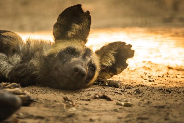 Dziki afrykański pies odpoczywa i śpi na ziemi w dzikiej przyrodzie, zdjęcie portretu zwierząt z afryki południowej