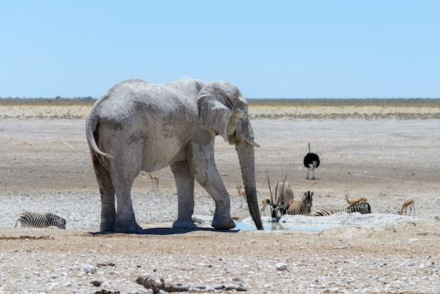 Dziki afrykański słoń na waterhole w sawannie