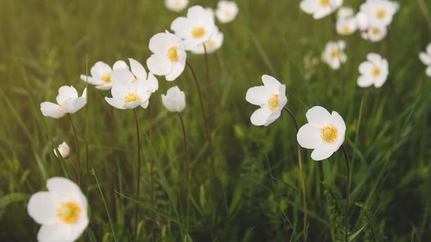 Dziki anemon kwitnie w polu.