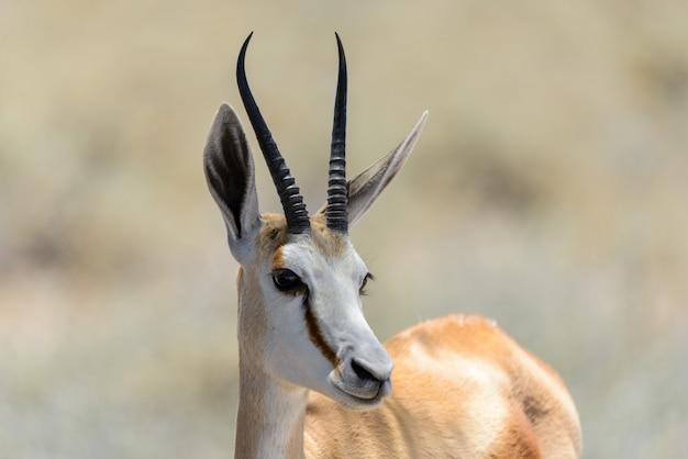 Dziki antylopy antylopy portret w afrykańskim sawanny zakończeniu up