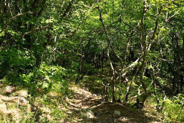 Dziki, bajeczny las górski z pokrzywionymi drzewami i gałęziami na górskim krymie.