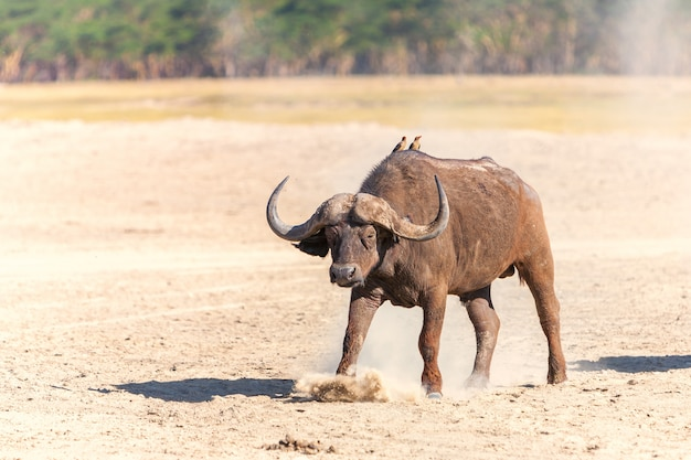 Dziki bawół afrykański na sawannie
