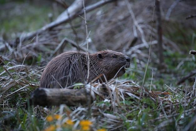 Dziki europejski bóbr w pięknym naturalnym środowisku w republice czeskiej