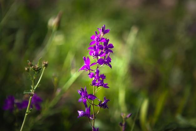 Dziki fioletowy kwiat na polu