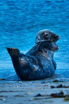 Dziki foka szara siedzi na plaży
