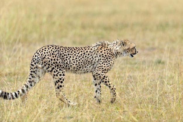Dziki gepard afrykański, piękny ssak zwierzęcy. afryka, kenia