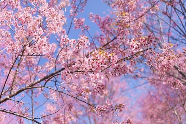 Dziki himalajski czereśniowi okwitnięcia w wiosna sezonie, różowy sakura kwiatu tło