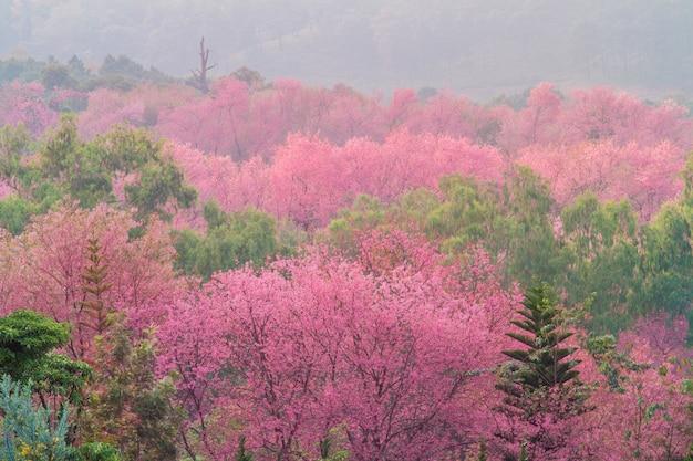Dziki himalajski czereśniowy kwiat z mgłą w thailand