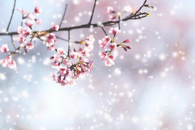 Dziki himalajski kwiat wiśni, piękny różowy kwiat sakury w zimie z krajobrazem śniegu