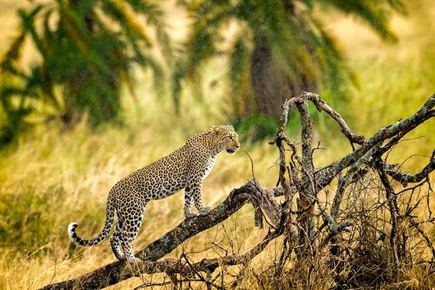 Dziki jaguar w gałęziach drzewa, gepard na drzewie w serengeti