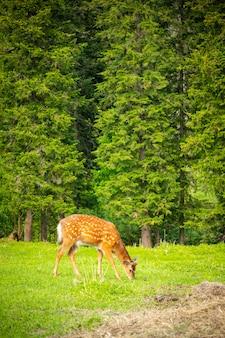 Dziki jeleń na zielonej łące w lesie syberii rosji