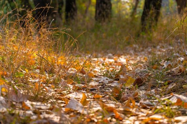 Dziki jesień las. podeptana ścieżka, opadłe żółte liście i pożółkła trawa