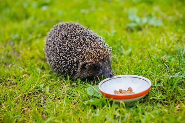 Dziki jeż je z miski dla psa jeż je suchą karmę dla kotów, ogród letni. mały szary kolczasty jeż gromadzi się, aby pić mleko lub jeść z talerza