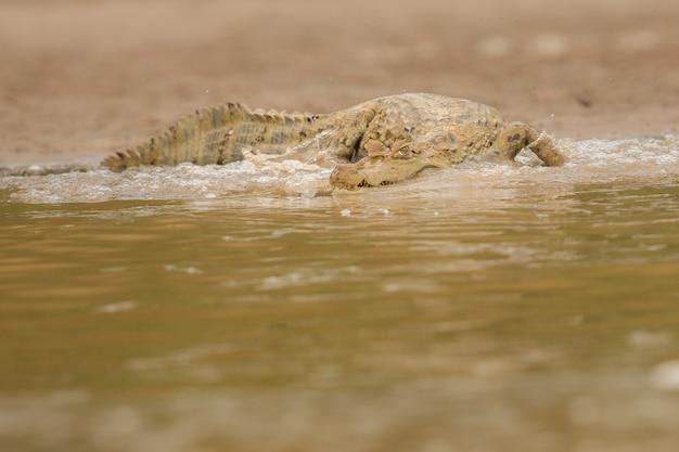 Dziki kajman w naturalnym środowisku dziki brazylijski brazylijski dzika przyroda pantanal