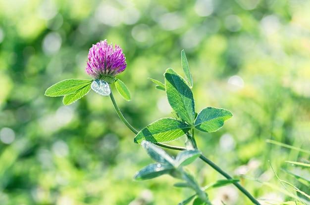 Dziki koniczynowy kwiat w łące w promieniach światło słoneczne na letnim dniu. tle kwiatów z nieostrość.