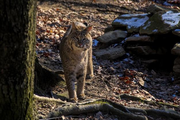 Dziki kot stojący w pobliżu drzewa, patrząc w kamerę