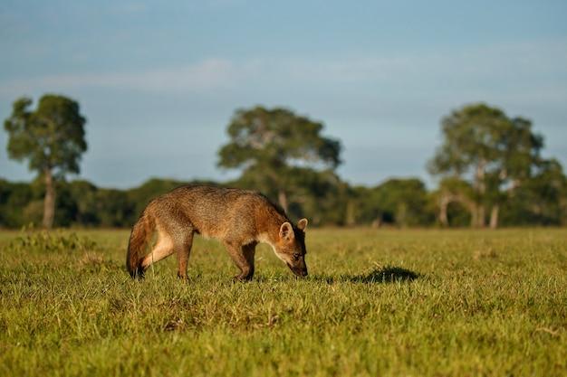 Dziki krab jedzący lisa lub maikong w brazylijskim pantanalu