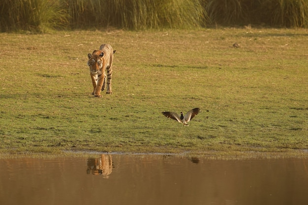 Dziki królewski tygrys bengalski w naturalnym środowisku parku narodowego ranthambhore