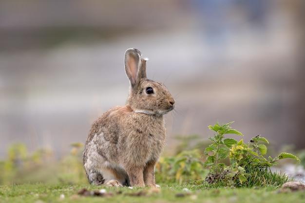 Dziki królik siedzi na trawie na zewnątrz w gospodarstwie. jedno ucho jest uszkodzone.