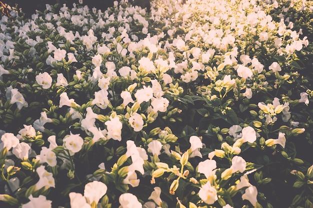 Dziki kwiat trawy tło małe kwiaty, natura piękna, tonujący projekt wiosna natura, słońce rośliny .biały kwiat w polu