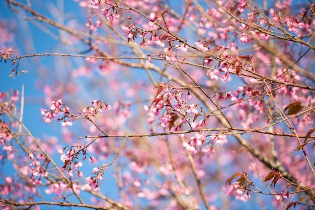 Dziki kwiat wiśni himalajów, piękny różowy kwiat sakury w zimowy krajobraz