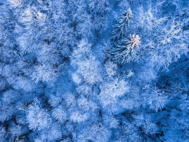 Dziki las świerkowy na początku zimy. szadź i śnieg na ziemi i gałęziach. widok z góry pionowo w dół