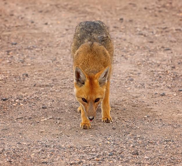 Dziki lis andyjski w pustynnym krajobrazie w boliwii altiplano ameryka południowa south