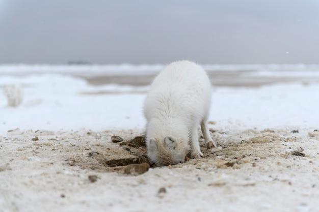 Dziki lis polarny kopiący śnieg na plaży biały lis polarny szuka pożywienia w tundrze