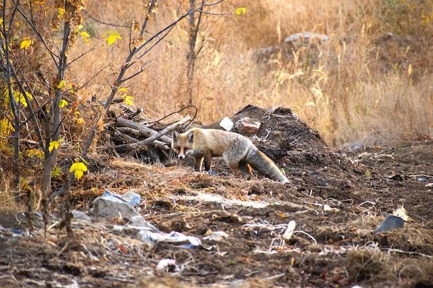 Dziki lis w lesie wędruje wśród ludzkich szczątków w poszukiwaniu pożywienia