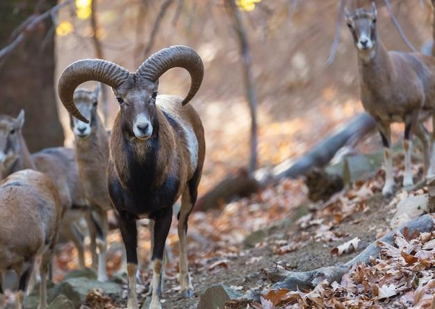 Dziki muflon w lesie jesienią, wyspa cypr.